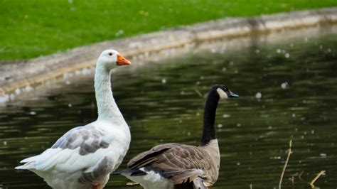 raising ducks in backyard raising ducks how to raise geese and ducks together in