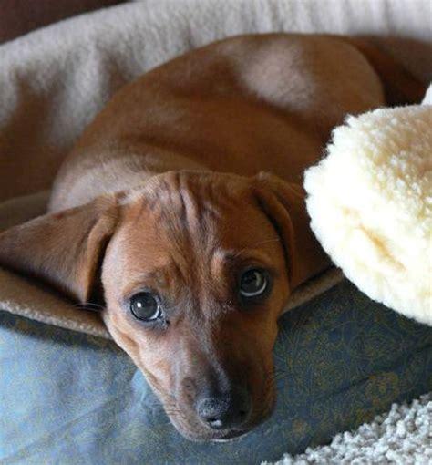 beagle dachshund mix puppies beagle dachshund mix puppy