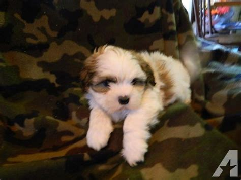shih tzu puppies mn shih tzu puppies for sale in falls minnesota classified americanlisted