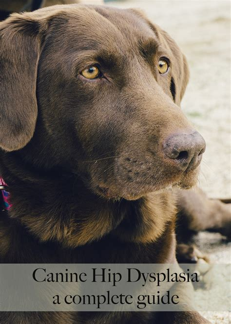 hip dysplasia dogs hip dysplasia in dogs a complete guide for labrador owners the labrador site