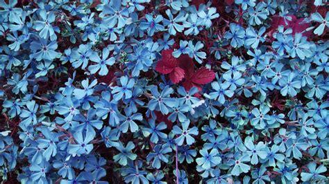 wallpaper of blue flowers blue flowers wallpaper wallpaper wide hd