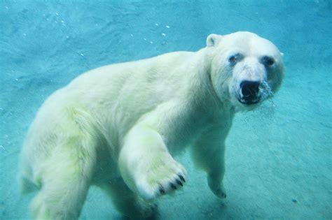 Two Polar Bears In A Bathtub by Underwater Polar 2 365 One Of The Polar Bears I
