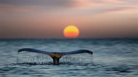 whale tail sunset wallpapers hd   desktop