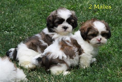 shih tzu breeders canada loving outside shih tzu puppies puppies for sale dogs for sale in ontario canada
