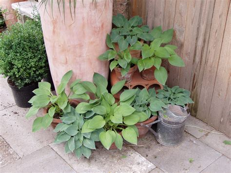 winterharte pflanzen für balkon pflanzen fr den schattigen balkon heimdesign