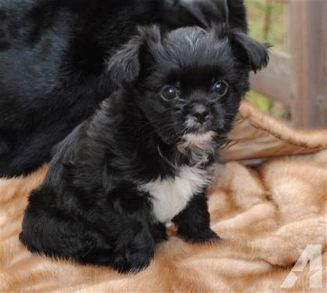 yorkie japanese chin mix panda yorkie chin mix jarkies for sale in hobart new york classified