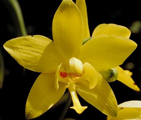 Bunga Anggrek Bulan Kuning tanaman hias anggrek paling populer di indonesia