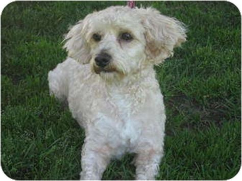 havanese and poodle mix barnie adopted puppy poway ca havanese poodle miniature mix