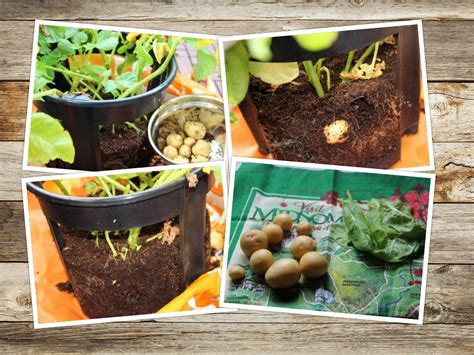 wann pflanze ich kartoffeln wie pflanze ich kartoffeln wie pflanze ich kartoffeln
