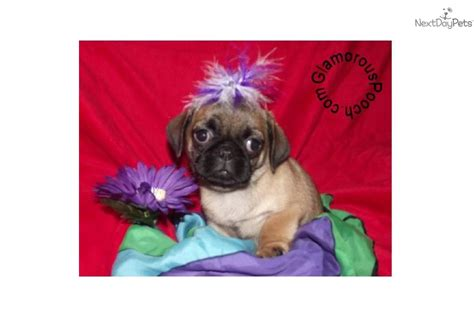 are pugs to potty pug puppy for sale near york pennsylvania 29e069ac aa41