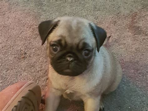 pug pregnancy calendar pug breed information buying advice photos and facts pets4homes