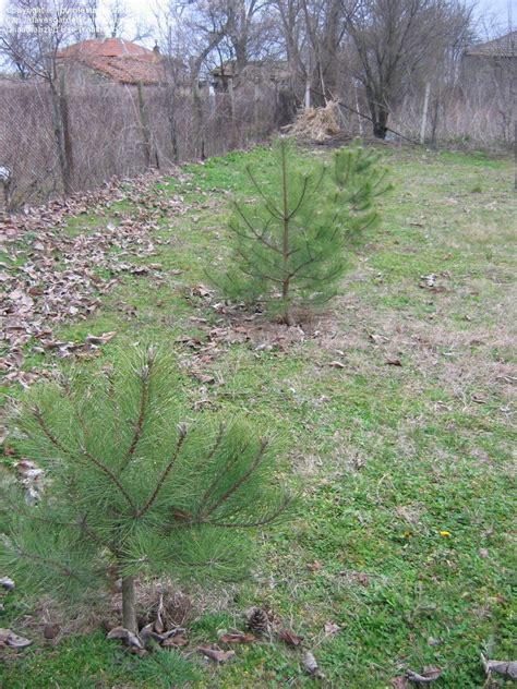 China Garden Middletown Ohio by Plantfiles Pictures Austrian Pine Black Pine European