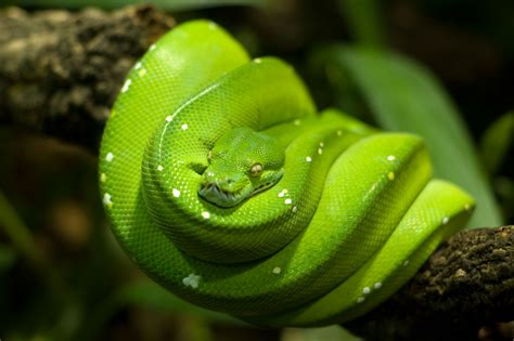 facts about green 5 interesting facts about green tree pythons hayden s