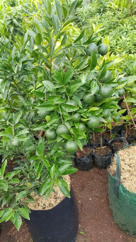 Jual Bibit Buah Naga Dalam Pot tanaman buah pot 0878 55000 800 jual bibit tanaman