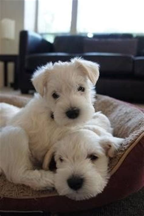 schnauzer doodle puppies for sale white miniature schnauzer pups just look at