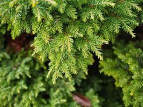 canadian hemlock trees description growing tips