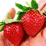 Benih Biji Buah Strawberry Besar bibit strawberry