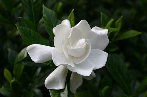 gardenia flower fragrant plants walter reeves the georgia gardener