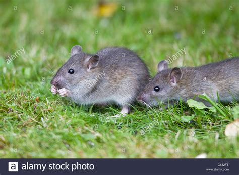 brown rats rattus norvegicus baby animals feeding on