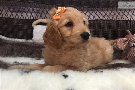 mini goldendoodles florida paisley goldendoodle puppy for sale near west palm