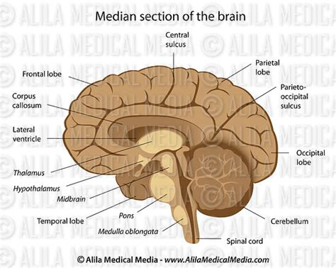 medial section of brain alila medical media human brain anatomy labeled