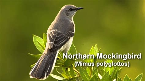 best 28 mockingbird bird call critter of the week