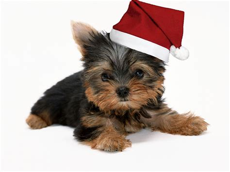 what is the best yorkie terrier shoo out there and condistioner cute yorkshire terrier in christmas hat watch mobile