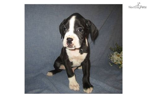black boxer puppies for sale meet nemo a boxer puppy for sale for 600 akc black boxer puppy for sale