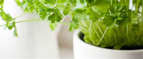 Vege Herbal the 9 easiest herbs to grow indoors more