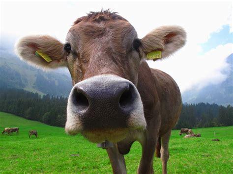 imagenes vacas locas flatulencias de vaca para fabricar bolsas pl 225 sticas
