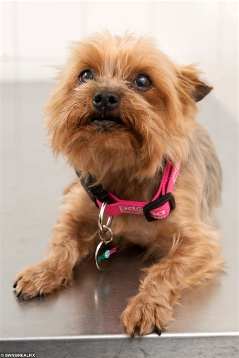 how big is a yorkies stomach terrier s lucky escape after 22 hair bobbles real fix