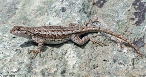 how to catch a lizard in your backyard common side blotched lizards uta stansburiana