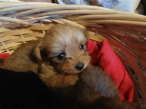 yorkie has diarrhea yorkie poo puppies for sale with pictures info about breeders