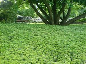 Green Carpet Plant Chiara S Plants Pachysandra Terminalis