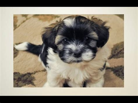 how to potty a havanese puppy havanese grooming funnydog tv