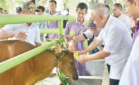 Bibit Sapi Di Riau ini upaya riau ikrarkan diri sebagai pusat peternakan sapi