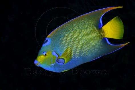 bright colored fish angelfish exotics fish loricula pygmy