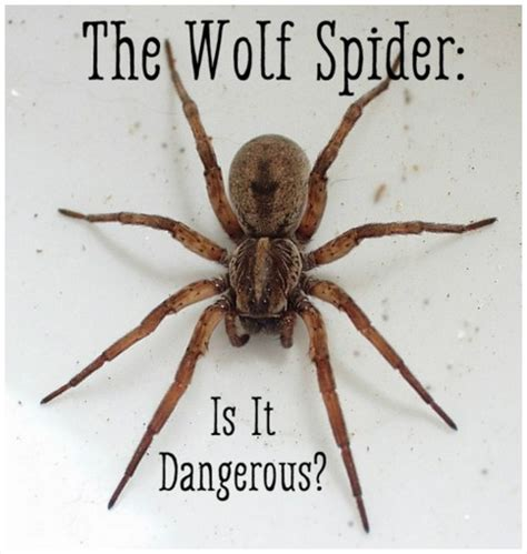 wolf spider bite symptoms treatment pictures