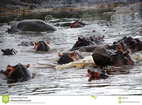 hippo pool stock photos image 5336373
