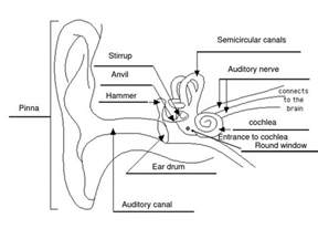 labelled diagram of the ear back to school for me