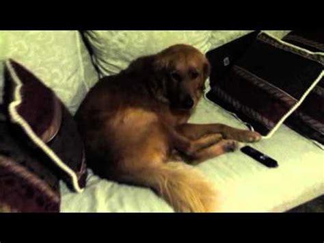 stubborn golden retriever golden retriever slowly wakes up funnycat tv