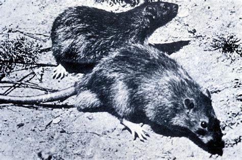 black death black plague middle ages project