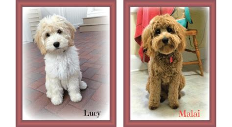 goldendoodle puppy coat types coat types and textures goldendoodle acres