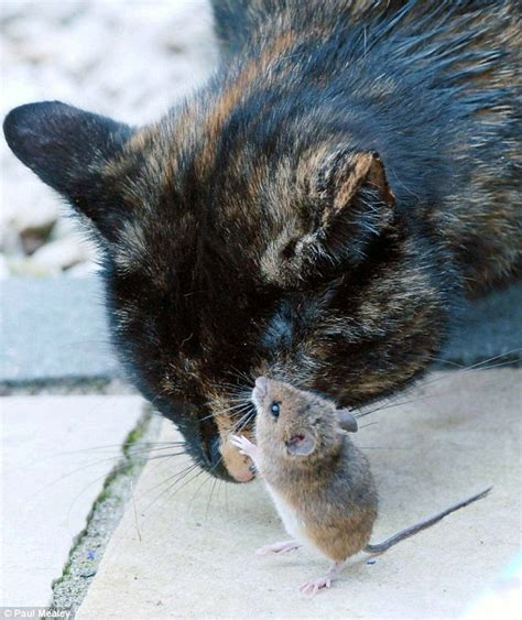 can a get a cat cat and mouse play together in westport ireland but are they still friends daily