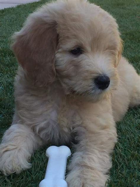 goldendoodle puppies for sale in az arizona republic classifieds goldendoodle puppies f1b
