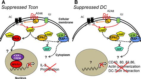 frontiers regulatory dendritic cells for frontiers regulatory t cell mediated suppression of