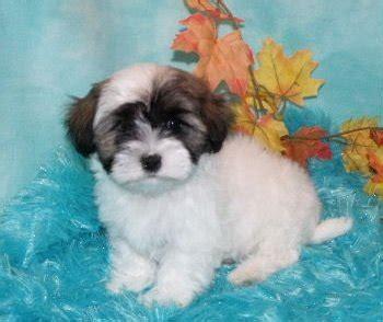 havanese puppies ta havanese sale singapore havanese puppies buy buy havanese breeders havanese dogs