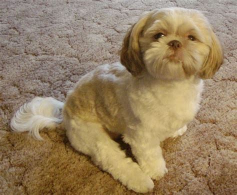 liver and white shih tzu puppy shih tzu liver white puppy dogs