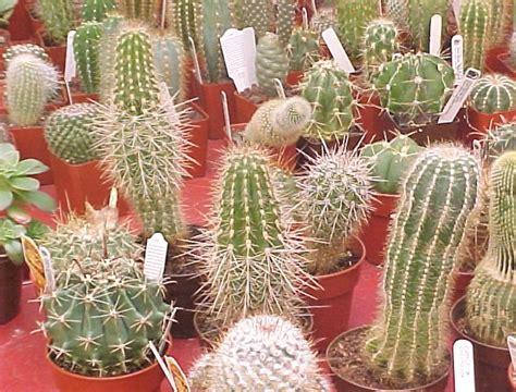 Bibit Tanaman Hias Cactus Dan Succulent Mammillaria Elongata rudy dewanto menanam kaktus