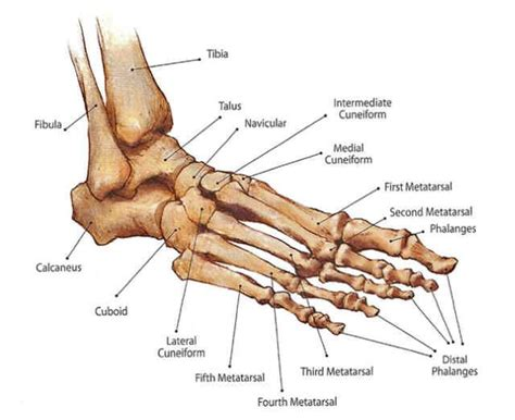 Diagram Of A Foot And Ankle